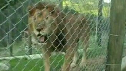 Смотреть Льва выпустили из клетки