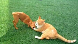 Смотреть Котяра против собачонки
