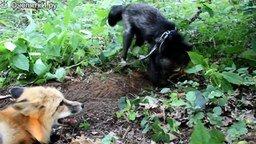 Лисы копают норы