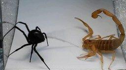 Паук против скорпиона смотреть видео прикол - 0:48