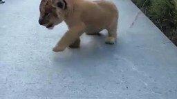 Смотреть Рык маленького царя зверей