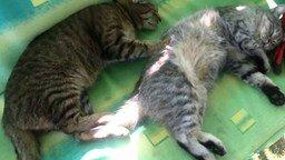 Смотреть Кот массирует своего приятеля