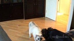 Собачонка-таки осмелилась! смотреть видео прикол - 0:45
