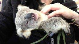 Маленькая коала смотреть видео прикол - 2:30