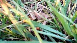 Смотреть Мяукающая лягушка