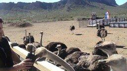 Смотреть Наглый страус