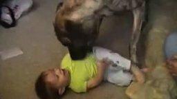 Смотреть Мальчуган играет с гигантским псом