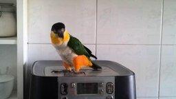 Смотреть Ирландский танец попугая