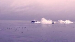 Смотреть Семья китов выныривает из воды