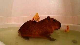Смотреть Капибара и утята в ванне