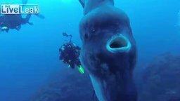 Смотреть Дайверы обнаружили солнечную рыбу