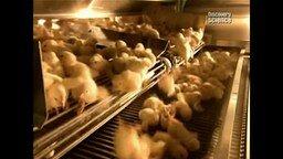Смотреть Массовое выращивание цыплят