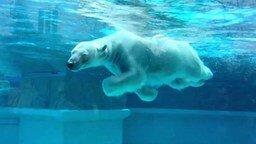 Смотреть Белый мишка в зоопарке