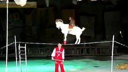 Смотреть Невероятный трюк с козой на арене