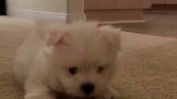 Смотреть Смешной и милый белоснежный щенок