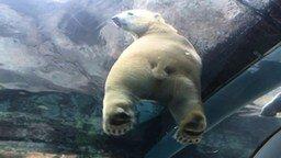 Наблюдение за белым медведем смотреть видео прикол - 0:36