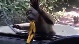 Обезьяна и банан за стеклом смотреть видео прикол - 0:24