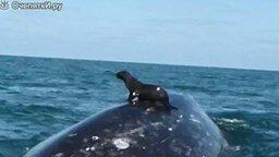 Смотреть Морской лев оседлал кита