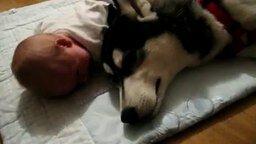 Смотреть Хаски плачет вместе с малышом