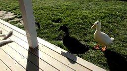Смотреть Две утки-задиры
