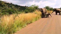 Слонёнок учится атаковать машину смотреть видео прикол - 0:56