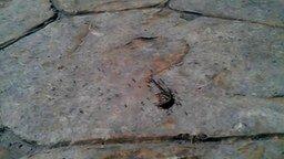 Смотреть Муравьи тащат ящерицу