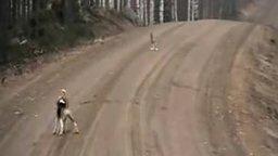Смотреть Заяц против охотничьей собаки
