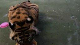 Смотреть Тигрёнок проголодался...