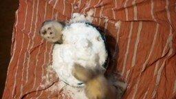 Смотреть Хорьки бесятся в чашке снега