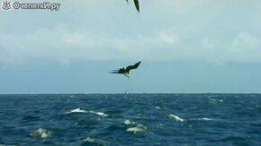 Смотреть Захватывающая охота на летающую рыбу
