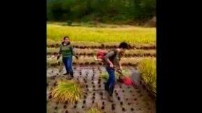 Сбор риса в Китае