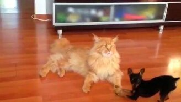 Собачонка дразнит рыжего кота