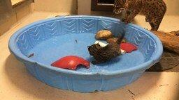 Смотреть Рыболов из семейства кошачьих
