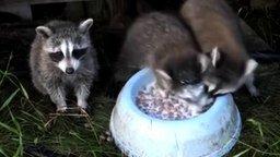 Смотреть Енот ныряет в молоко