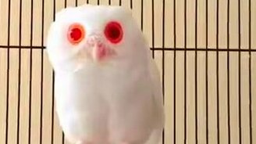 Сова-альбинос смотреть видео прикол - 0:15