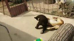 Смотреть Медвежонок против собаки
