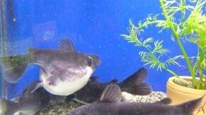 Смотреть Рыба замахнулась на большой размер