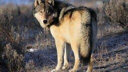Смотреть Волк отомстил без крови