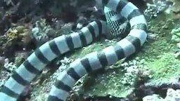 Смотреть Морская змея поглотила мурену