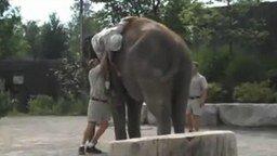 Как залезть на слона смотреть видео прикол - 1:18