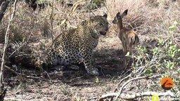 Смотреть Леопард передумал есть малыша антилопы