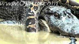Смотреть Сетчатый питон против аллигатора