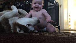 Смотреть Хаски играет с малышом