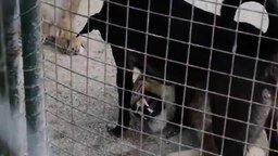 Смотреть Пёс наводит дисциплину у львиц