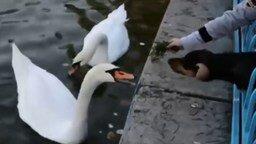 Смотреть Лебедь дразнит щенка