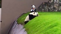 Смотреть Панда свалилась в яму