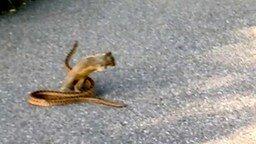Смотреть Белка пыталась отвоевать змею