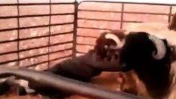 Смотреть Баран против барана