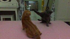 Кошачья схватка в замедлении смотреть видео прикол - 1:35