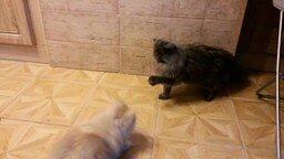 Смотреть Смешной фырчащий пёсик и невозмутимый кот